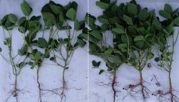 Soja: estimulación y nutrición para potenciar rendimiento en año seco