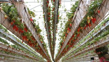 Un proyecto busca producir frutillas en invernadero y vender cuando no hay oferta