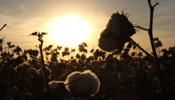 Lanzan el primer sello nacional para certificar prácticas sustentables en el cultivo de algodón