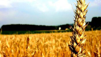 Prevén 12,5 millones de toneladas de trigo