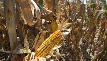 ¡A cuidar las tecnologías del maíz!