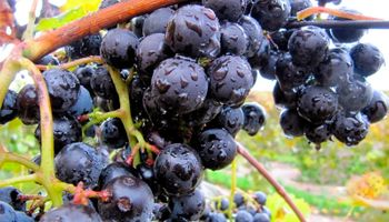 Científicos trabajan en la reutilización de los desechos de la producción del vino