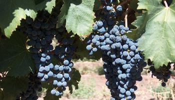 """""""Sin rentabilidad no hay producción"""": el caso de los productores de uva varietal del Valle de Uco"""