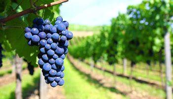 Mendoza: avanza el proyecto para establecer el precio de la uva por contrato