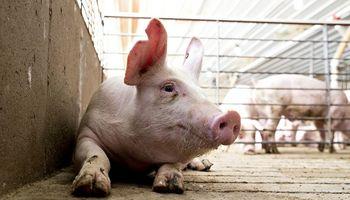 Financian grandes proyectos porcinos para aprovechar la oportunidad en China