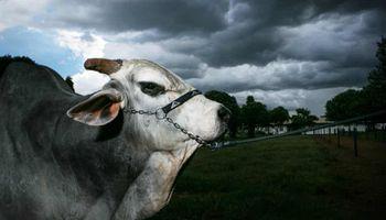Vaca loca en Brasil: confirman dos casos y suspenden la exportación de carne a China