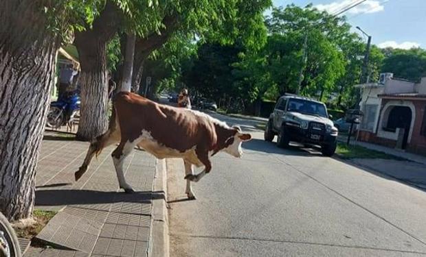 Una vaca rompió la cuarentena: sin barbijo, se paseó por el centro de una localidad bonaerense
