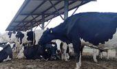 Caso de éxito lechero: una cabaña de Holando que logró una vaca de 88 litros diarios