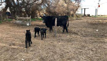 Se da una vez cada 100.000: una vaca que sorprendió en un campo de Buenos Aires