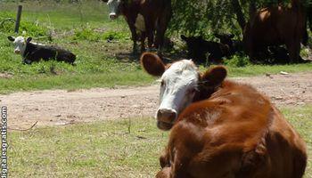 La ola de calor hace estragos en el mercado ganadero