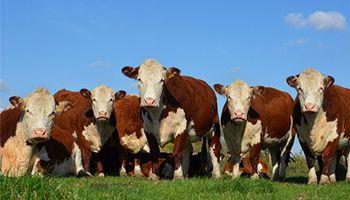 Lanzan una tecnología que permite monitorear al ganado en tiempo real