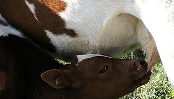 Buscan prevenir infecciones en terneros con calostro bovino en polvo