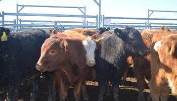 Unos 2000 animales colmarán el sector ganadero de AgroActiva
