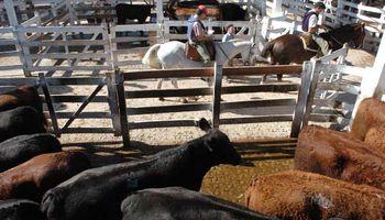 Fuertes caídas en los precios de las vacas