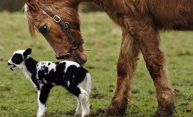 El desarrollo es aplicable a bovinos y equinos, responde a los estándares técnicos y de sanidad, y utiliza tecnología de bajo costo.