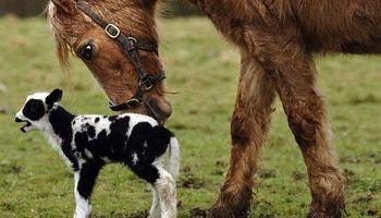Desarrollan tecnología para la detección de partos en bovinos y equinos