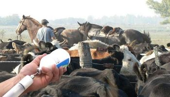 Vacunan contra fiebre aftosa en Valles Calchaquíes