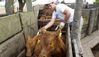 Campaña anti aftosa: más de 40 millones de bovinos vacunados