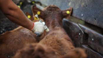 La Pampa: arranca la segunda vacunación antiaftosa