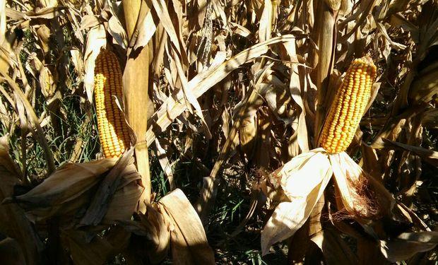 Se aceleró la venta de maíz con el avance de la cosecha y la mejora de precios