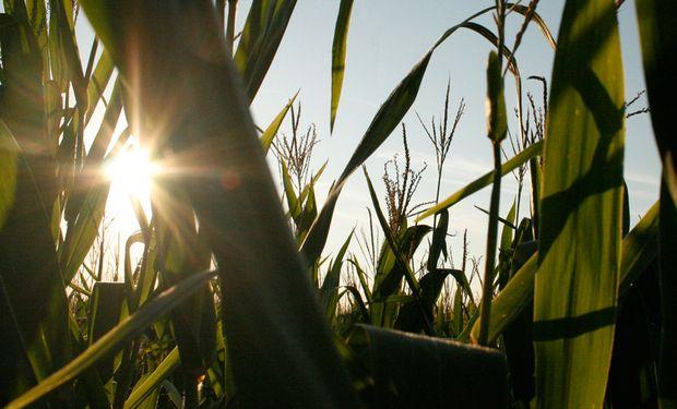 Exportaciones de maíz van tomando mayor fuerza.
