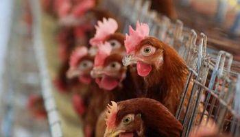 Cayeron las exportaciones, sobran pollos y baja el precio