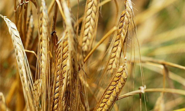 El campo restringe la venta de trigo