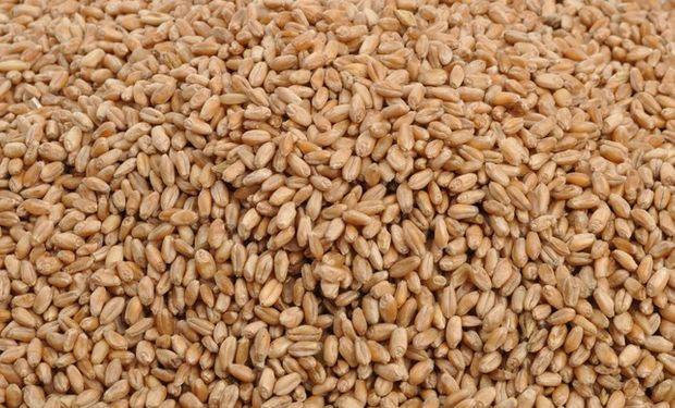 Ventas de semillas fiscalizada de trigo cayeron 50%