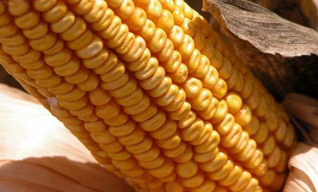 Importante adelanto de las compras de maíz 2016/17.