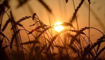 Ventas adelantadas de trigo marcan un nuevo récord