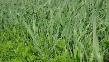 Cultivos de cobertura: la incorporación de avena y vicia mejora los balances de agua y suma nutrientes