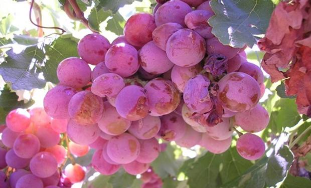 Recomiendan adelantar la cosecha, evitar las fertilizaciones, favorecer la aireación de los racimos y realizar un control químico a partir de buenas prácticas.