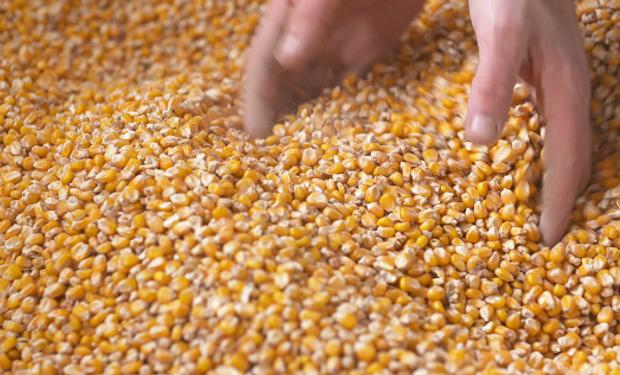 Aumenta el ritmo de comercialización de maíz y soja.