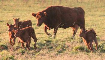 Con una revalorización de la hacienda, el productor tiende a la retención de vientres