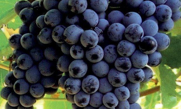 Respecto del precio que reciben por la uva, en la última vendimia les pagaron 400 pesos el quintal cuando hace tres años cobraban 620 pesos .