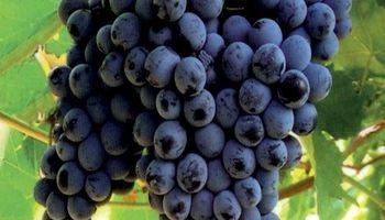 Cosecha de uva será superior a la de 2014