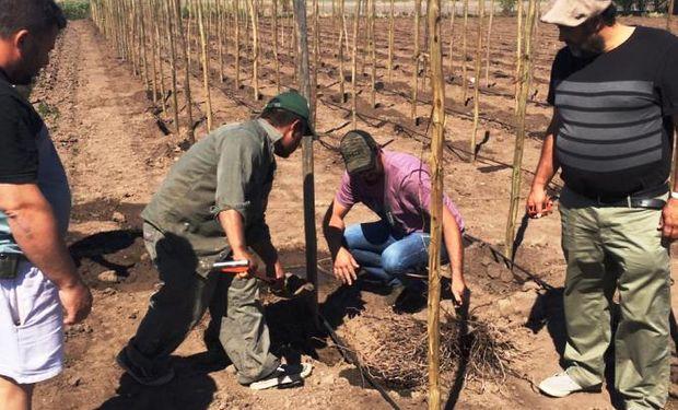 A preparar las copas: arman el primer viñedo de la provincia de Santa Fe.