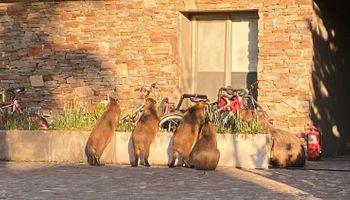 Invasión en Nordelta: alerta por los carpinchos que atacan a las mascotas