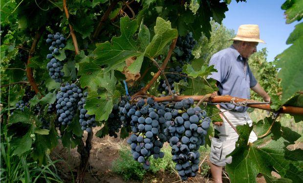 Con la cosecha ya iniciada y ante respuestas parciales la industria vitivinícola y el productor de vid se encuentran en una encrucijada.