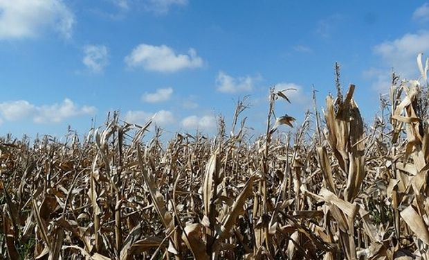 La situación ha obligado acelerar las tareas de trilla, aun cuando el cultivo presenta humedades de entre 16 y 17%, lo cual podría alterar la calidad del grano posteriormente.