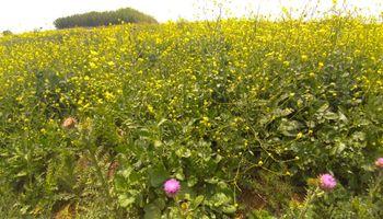 ¿Malezas para mejorar la producción de granos?