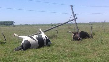Un tambero perdió dos vacas luego de reclamar 8 meses por un poste de luz caído