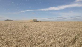 El aporte del trigo a la economía argentina: creció un 61% la recaudación