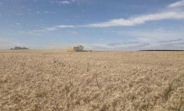 La cosecha de trigo fue un 34% superior al promedio de las últimas 5 campañas, estableciendo un nuevo récord.