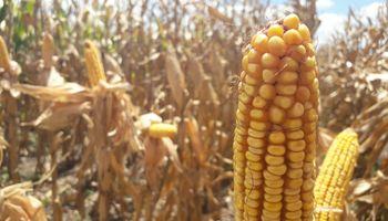 Se reducen los excesos hídricos en lotes de maíz, soja y girasol