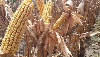 El maíz va por un nuevo récord: se esperan 111 qq/ha de promedio en la zona núcleo
