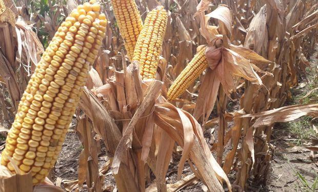 Se espera una producción record de maíz de 12 millones de toneladas en la región núcleo.