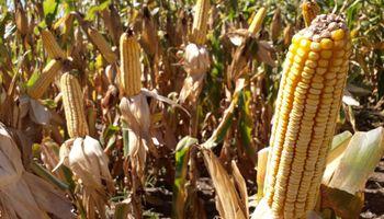 Qué se espera de la demanda en lo que aseguran será una campaña récord de maíz