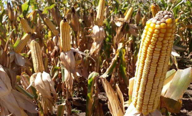 El comienzo en la recolección generó el empalme de cosecha, en la medida en que los precios disponibles y el abril comenzaron a converger.