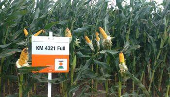 Los 8 maíces de KWS con mayor potencial de rendimiento